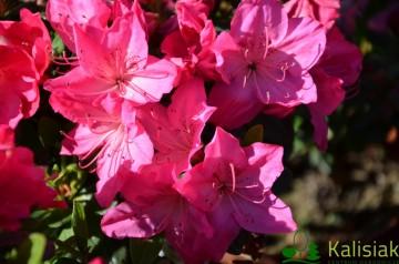 Rhododendron japanese azalea 'Petticoat' (Azalia japońska) - C4