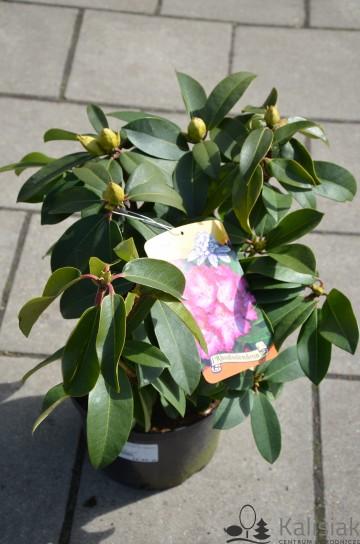 Rhododendron 'Sternzauber' (Różanecznik) - C4