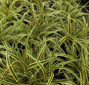Carex 'Everglow' (Turzyca) - C2