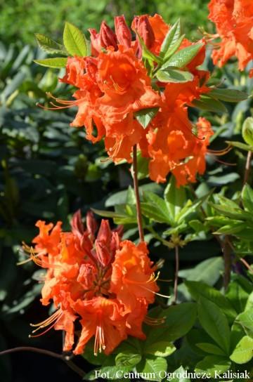 Rhododendron 'Gibraltar' (Azalia wielkokwiatowa) - C3