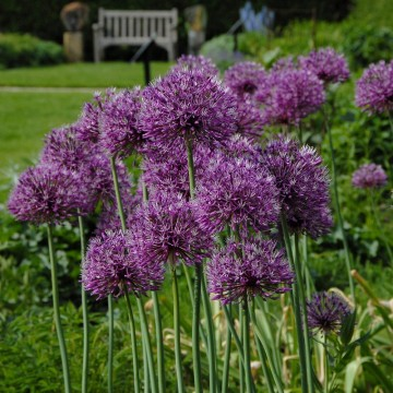 Allium 'Early Emperor' (Czosnek)  - C5
