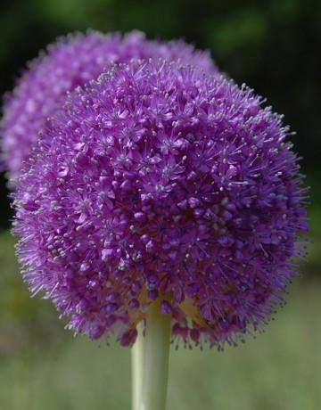 Allium giganteum (Czosnek) - C4