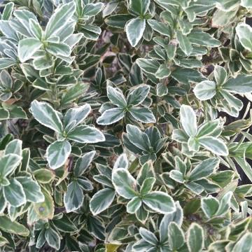 Euonymus japonicus 'Microphyllus Variegata' (Trzmielina japońska) - C2