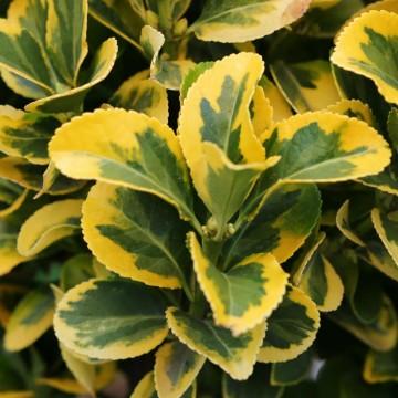Euonymus japonicus 'Marieke' (Trzmielina japońska) - C2
