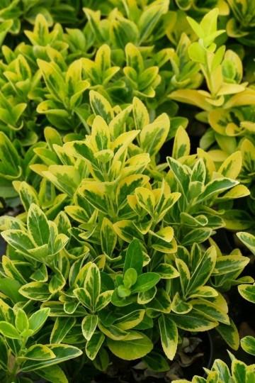 Euonymus japonicus 'Aureomarginatus' (Trzmielina japońska) - C2