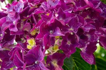 Hydrangea macrophylla 'Forever&Ever Purple' (Hortensja ogrodowa) - C5