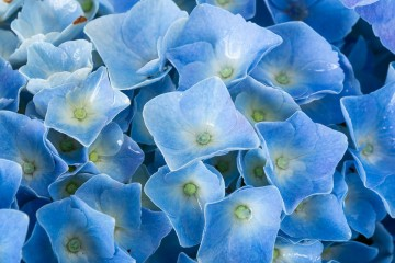 Hydrangea macrophylla 'Forever&Ever Blue' (Hortensja ogrodowa) - C5