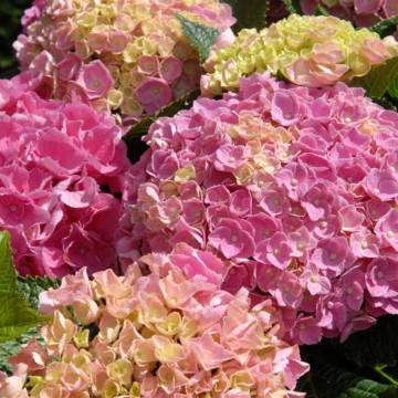 Hydrangea macrophylla 'Forever&Ever Pink' (Hortensja ogrodowa) - C5