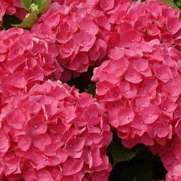 Hydrangea macrophylla 'Forever&Ever Red' (Hortensja ogrodowa) - C5