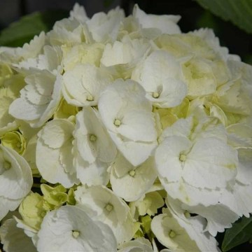 Hydrangea macrophylla 'Forever&Ever White' (Hortensja ogrodowa) - C5