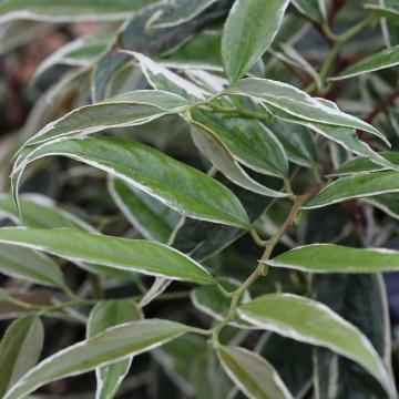 Leucothoe fontanesiana 'Whitewater' (Kiścień wawrzynowy) - C2