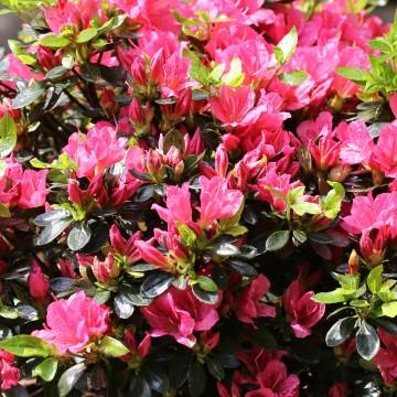 Rhododendron japanese azalea DRAPA 'Hachdrapa' (Azalia japońska) - C4