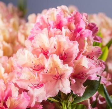 Rhododendron 'Brasilia' (Różanecznik) - C4
