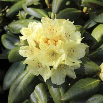 Rhododendron 'Bohlkens Laura' (Różanecznik) - C4
