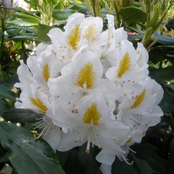 Rhododendron 'Madame Masson' (Różanecznik) - C4