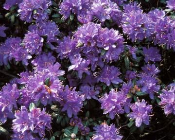 Rhododendron russatum 'Purple Pillow' (Różanecznik czerwieniejący) - C3