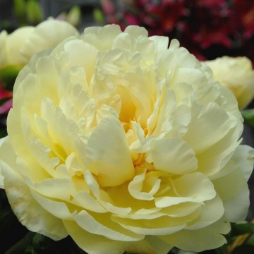 Paeonia lactiflora 'Lemon Chiffon' (Piwonia chińska) - C4