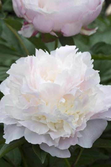 Paeonia lactiflora 'Pecher' (Piwonia chińska) - C4