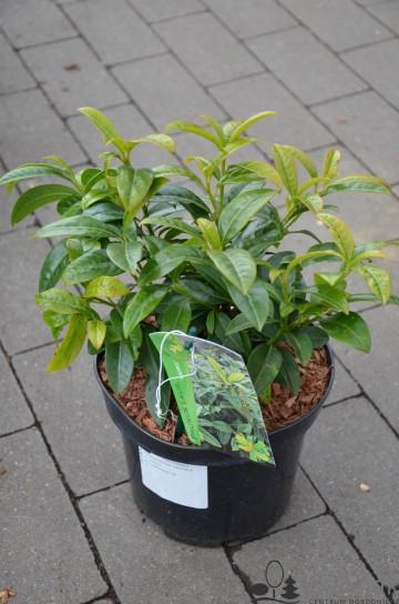 Prunus laurocerasus 'Nero' (Laurowiśnia wschodnia) - C3