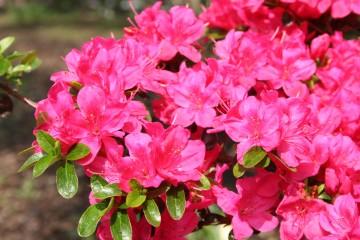 Rhododendron japanese azalea 'Rubinetta' (Azalia japońska) - C2