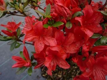Rhododendron japanese azalea JULIETTE 'Hachjuli' (Azalia japońska) - C4