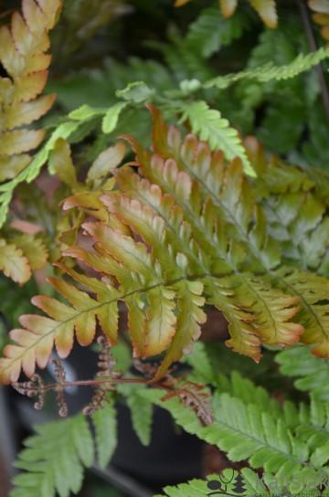 Dryopteris erythrosora (Narecznica czerwonozawijkowa) - C4