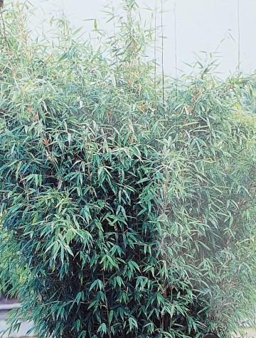 Fargesia nitida 'Great Wall' (Fargezja lśniąca) - C7.5