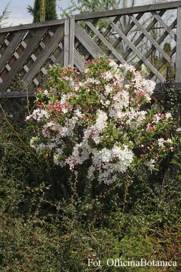 Malus POM ZAI 'Courtabri' (Jabłoń) - C5 bonsai
