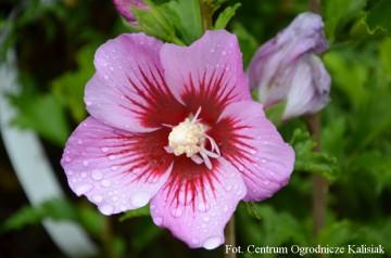 Hibiscus syriacus 'Maike' (Ketmia syryjska) - C3