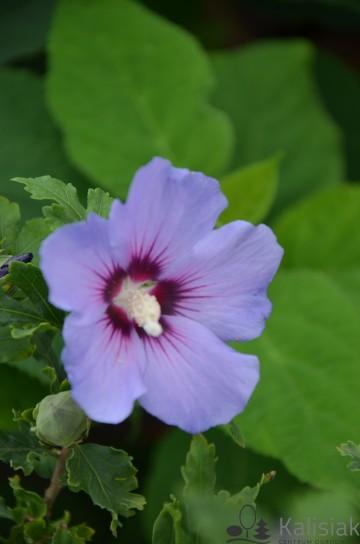 Hibiscus syriacus 'Marina' (Ketmia syryjska) - C3