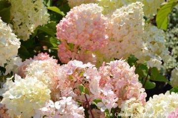 Hydrangea paniculata 'Diamantino' (Hortensja bukietowa) - C3