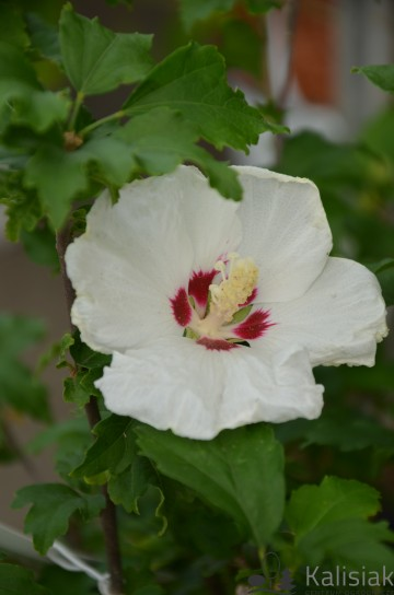 Hibiscus syriacus 'Monstrosus' (Ketmia syryjska) - C3