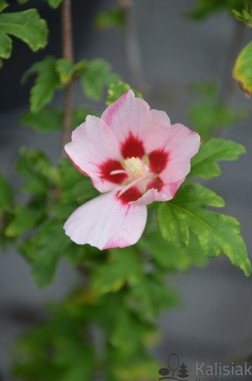 Hibiscus syriacus 'Hamabo' (Ketmia syryjska) - C3