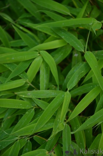 Fargesia murieliae 'Elias' (Fargezja parasolowata) - C5 bonsai