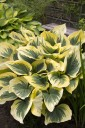 Hosta 'Liberty' (Funkia)  - C1.5