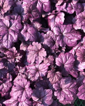 Heuchera 'Dolce Wildberry' (Żurawka)  - C2