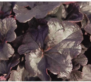 Heuchera 'Black Knights' (Żurawka)  - C2