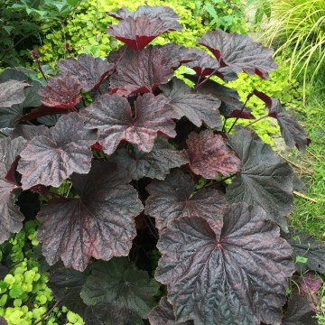 Heuchera 'Dark Magic' (Żurawka)  - C2