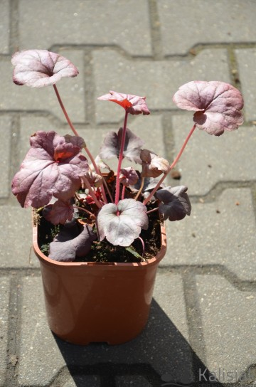 Heuchera 'Hint of Dawn' (Żurawka)  - C2