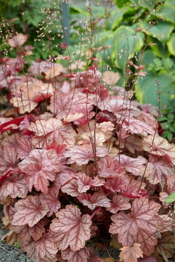 Heuchera 'Frosted Flame' (Żurawka)  - C2