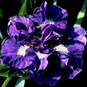 Iris sibirica 'Kabluey' (Kosaciec syberyjski) - C2