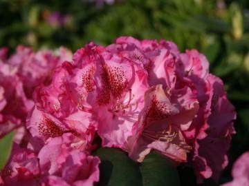 Rhododendron 'Constanze' (Różanecznik) - C4