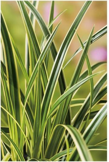 Carex morrowii VANILLA ICE 'Vanice' (Turzyca Morrowa) - C2