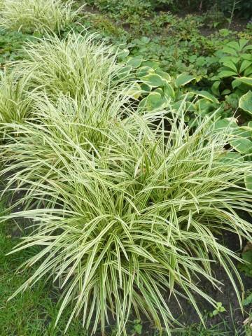 Carex morrowii 'Gold Band' (Turzyca) - C5