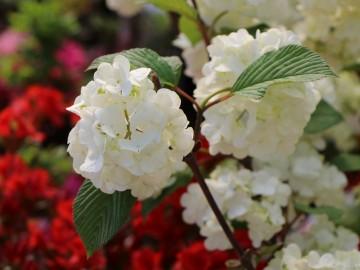Viburnum plicatum 'Rotundifolium' (Kalina japońska) - C5