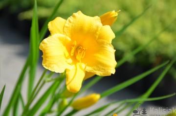 Hemerocallis 'Stella de Oro' (Liliowiec ogrodowy) - C2