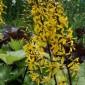 Ligularia stenocephala 'The Rocket' (Języczka wąskogłówkowa) - C5
