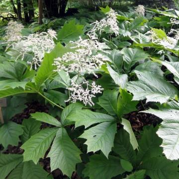 Rodgersia podophylla (Rodgersja stopowcolistna) - C5