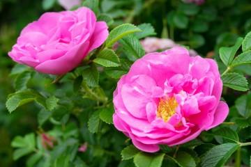 Rosa rugosa PASSION 'Rokoko' (Róża pomarszczona) - C3