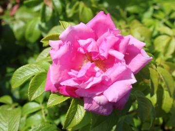 Rosa rugosa ADMIRATION 'Rosa Zwerg' (Róża pomarszczona) - C3